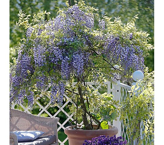 Hayloft Plants 1 x Wisteria Amethyst Falls on Bamboo Cane in 15cm Pot