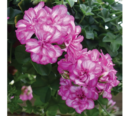 Mont Rose 10 x Geranium Ivy Arctic Rose Young Plants
