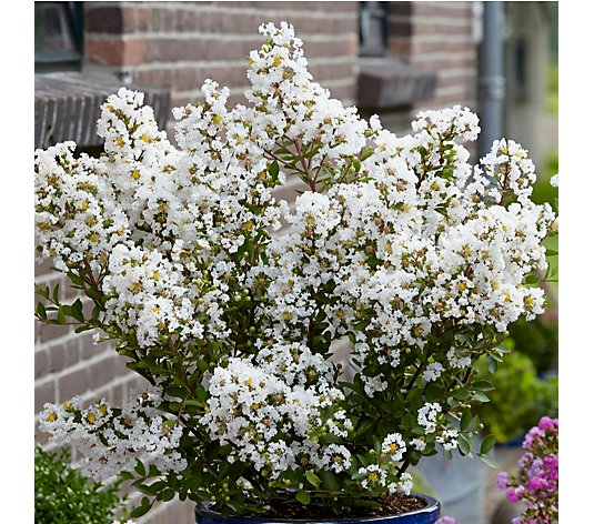 Plants2Gardens Lagerstroemia With Love Virgin in 3 Litre Pot