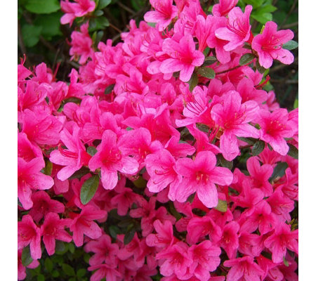 Plants 2 Gardens Azalea Anouk Shrub in 5 Litre Pot