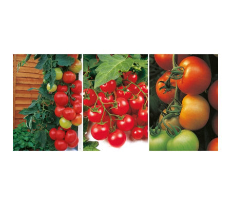 Suttons Customer Favourites Grafted Tomato Kit