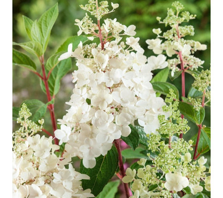Plants2Gardens Hydrangea Pinky Winky Shrub in 3 Litre Pot