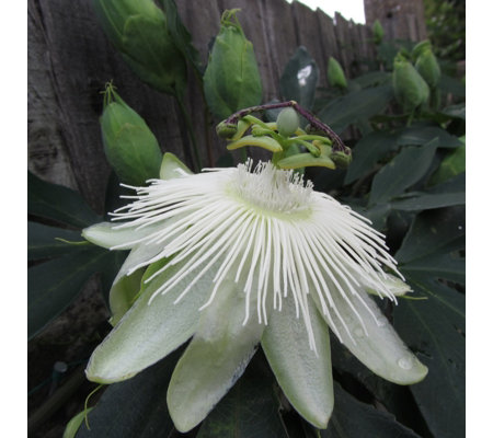 Plants2Gardens 1 x Passiflora Riverside Snow Queen Shrub