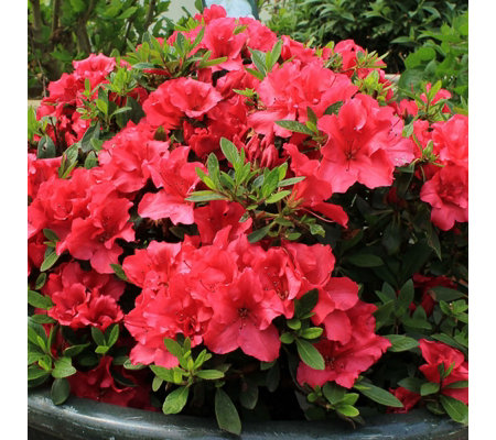 Hayloft Plants 2 x Re-Blooming Azalea Bloom Champion