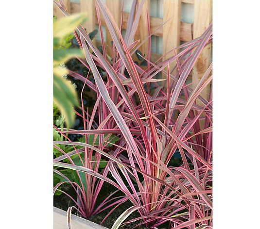 Plants2Gardens Cordyline Southern Splendour in 4.5 Litre Pot