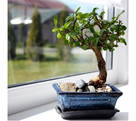Thompson & Morgan Bonsai Ligustrum in 12cm Ceramic Pot with Saucer