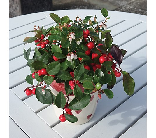 Mont Rose Set of 3 Gaultheria Plant in 9cm Pots