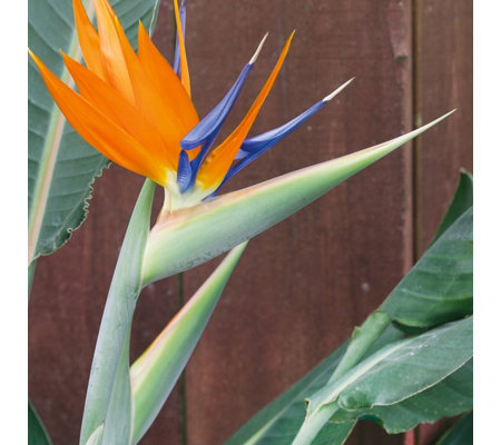 Plants2Gardens Bird of Paradise Plant with Planter and Saucer