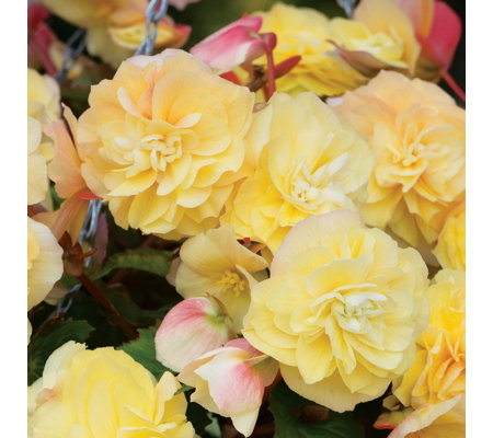 de Jager 6x Sweet Spice Highly Scented Begonias in 4.5cm Pots