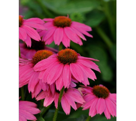 Hayloft Plants 3 x Echinacea Pretty Flamingo Plugs