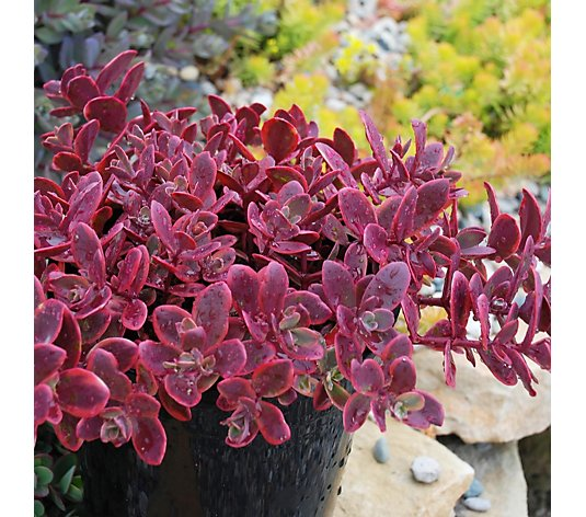 Thompson & Morgan 6 x Sedum Sunsparkler Wildfire 3cm Young Plants