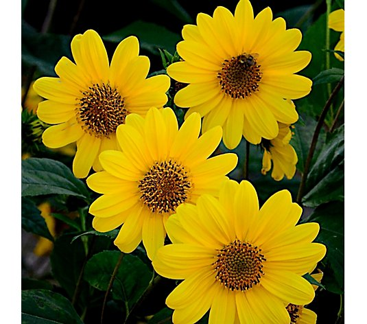 Richard Jackson 3x Perennial Sunflower 48mm plugs