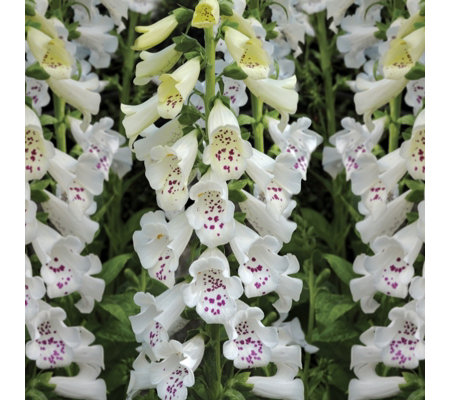 de Jager 10x Fascinating Foxgloves 4.5cm Young Plants