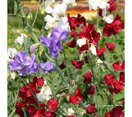 Hayloft Plants 6 x Lathyrus Odorata Royal Mix