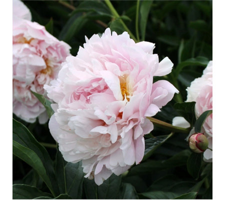 Thompson & Morgan Tree Peony Revival 3 Bare Root Plants