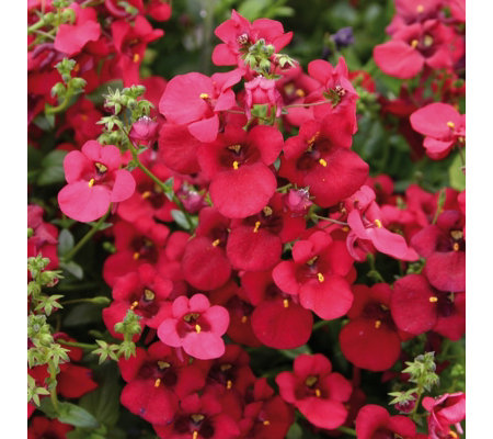 Hayloft Plants 9 x Diascia Young Plants with 3x Decorative Containers