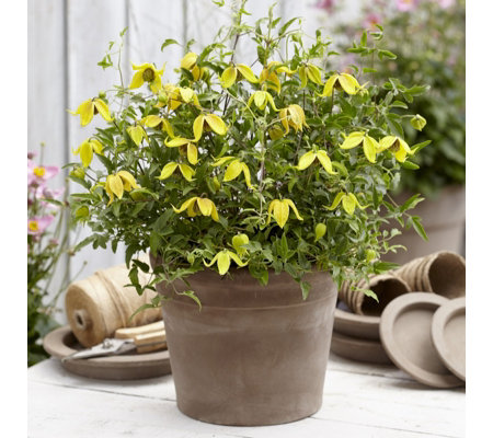 Thompson & Morgan 2 x Clematis Little Lemons 7cm Pots