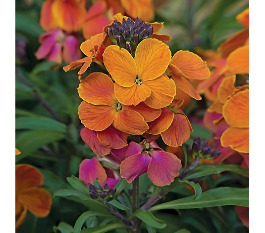de Jager 9x Kerley Wallflower Collection 4.5cm Young Plants