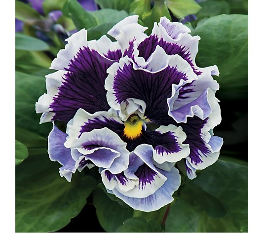 de Jager 10 x Kerley Ruffles Pansy Collection in 4.5cm Pots
