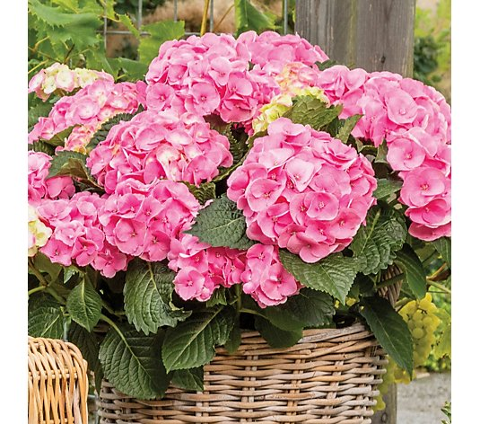Hayloft Plants 2 x Dolce Chic Plants 2 x Provence Planter 1 x 20L Bag Compost