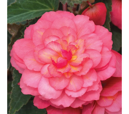 de Jager 6 x Highly Scented Begonias