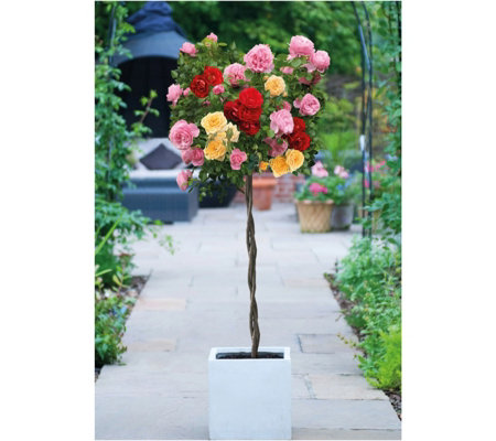 Thompson & Morgan Rose Tricolour (Patio Standard) 1 Bare Root