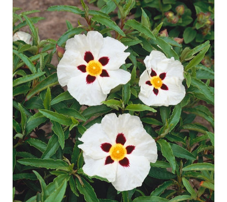 Plants2Gardens Cistus Purple Star in 3 Litre Pot