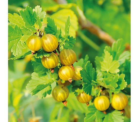 Thompson & Morgan 3 x Gooseberry Giggles Collection 9cm Pot