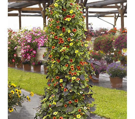 Thompson & Morgan Thunbergia & Ipomoea 5x 9cm Pot with Barrel Effect Tower