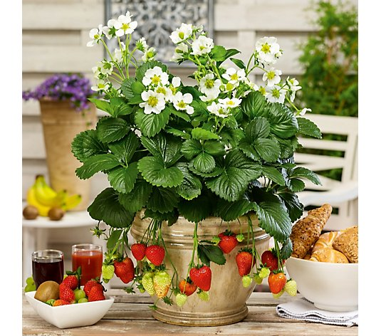 Thompson & Morgan Strawberry Sweet Collection 9cm Pot x 3