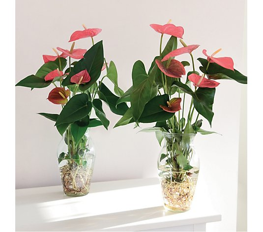 Thompson & Morgan Set of 2 Hydroponic Anthurium in Glass Vase