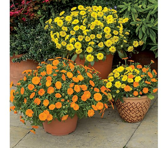 de Jager 6 x 4.5cm Kerley Sunray Power Daisies Young Plants
