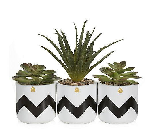 BundleBerry by Amanda Holden Set of 3 Succulent Plants