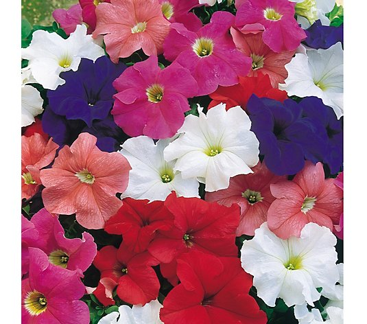 Plants2Gardens 20 x 5cm Petunia Giant Flowering Mix
