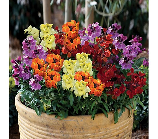 de Jager Fragrant Sugar Rush Wallflowers 8x 4.5cm Young Plants