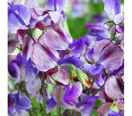Thompson & Morgan Sweet Pea Three Times as Sweet 6x 5cm Young Plants