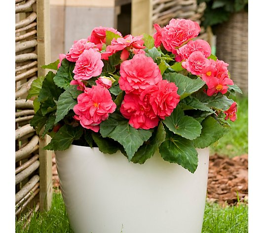 Thompson & Morgan Begonia Fortune Collection 20x 4cm Young Plants