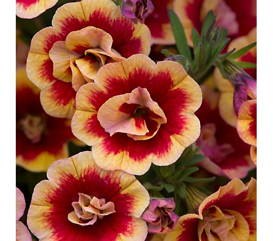 Hayloft Calibrachoa Can Can Double Orangetastic 9x Young Plants