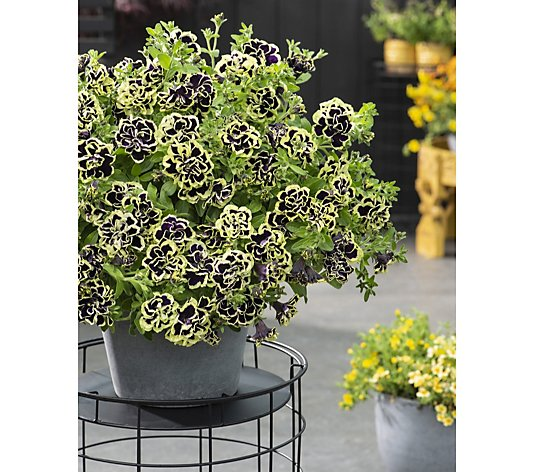 Thompson & Morgan 10x Petunia Midnight Mystical Gold Plugs 4cm Young Plants