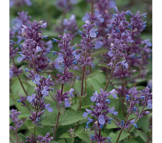 Thompson & Morgan 6x Nepeta Whispurr Collection 4cm Young Plants