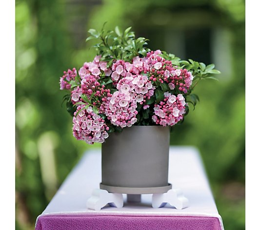 Thompson & Morgan 1x Kalmia Latifolia Little Linda 3 Litre Pot