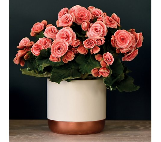 Thompson & Morgan Begonia Borias Rosebud 13cm in Decorative Pot