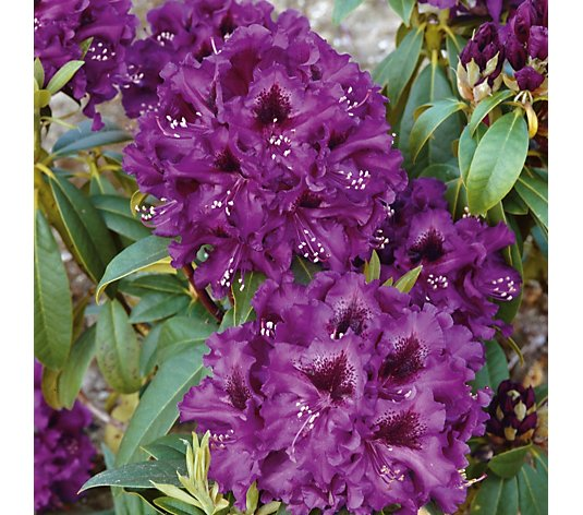 Plants2Gardens Rhododendron Polar Night in 7.5 Litre Pot