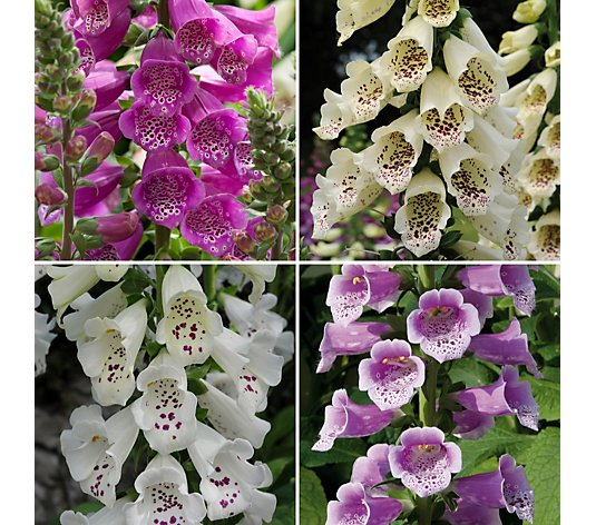 Richard Jackson Garden Ready Beautiful Foxgloves 12x 7cm plants