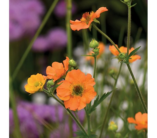 Thompson & Morgan 3x Geum Totally Tangerine 5cm Young Plants