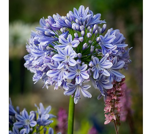 Plants2Gardens Agapanthus Collection 3x 9cm Pots